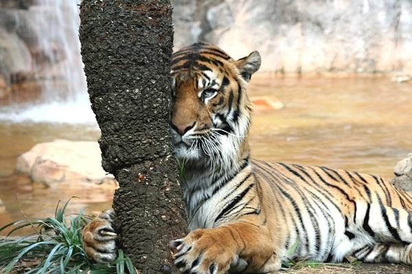 トラは見た2.jpg