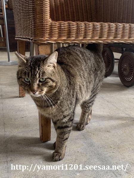 店猫きい2.jpg